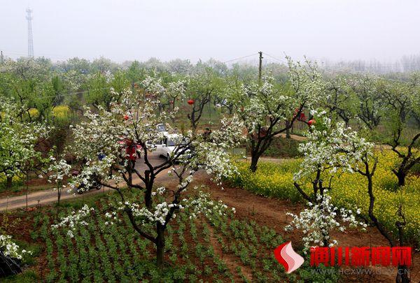 梨花深处春满园  美丽乡村迎来旅游黄金季
