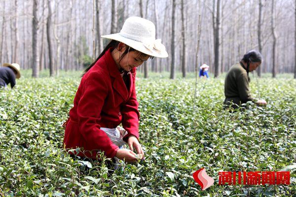 淮河滩区采茶忙