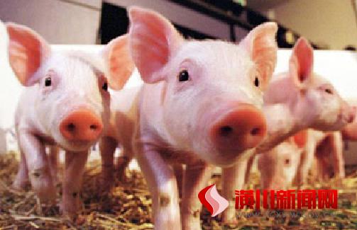 养猪是个好门路  产业扶贫早致富